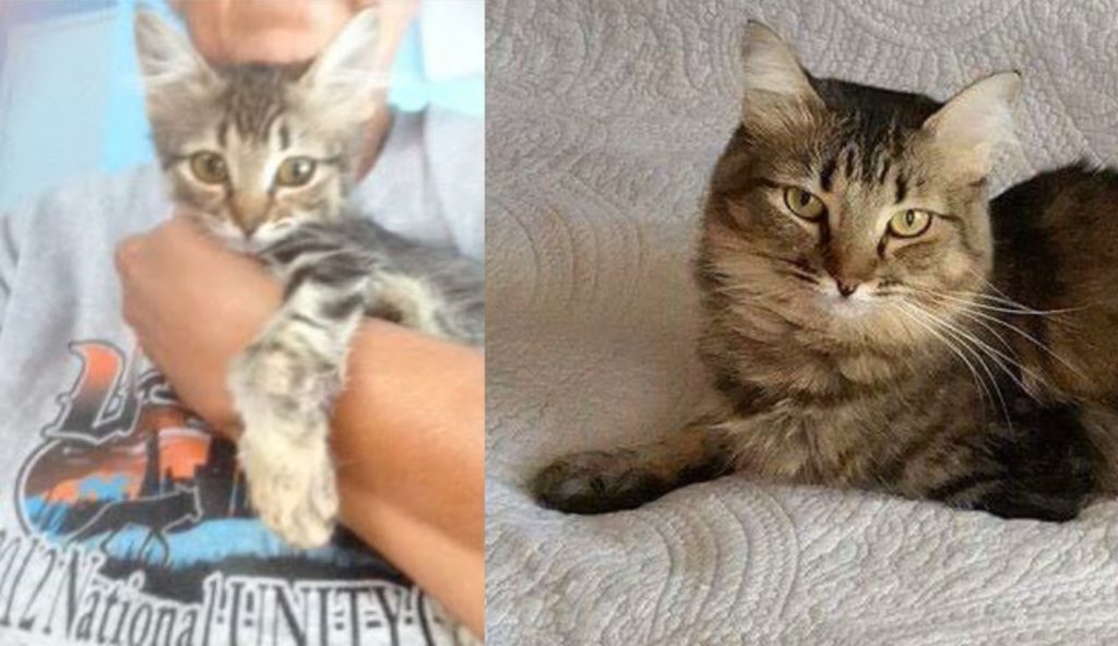 Miracle, from rescued kitten to beautiful adult
